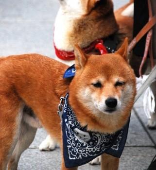 柴犬の可愛さや魅力を知ろう