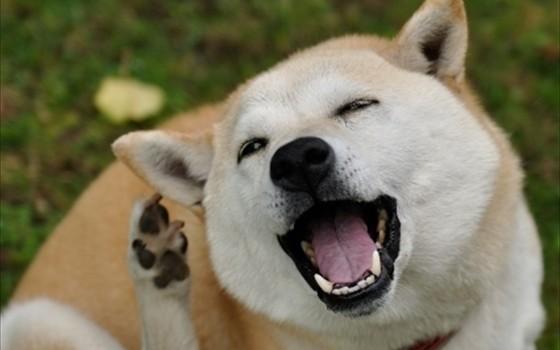 海外でも大人気!!柴犬の魅力♡