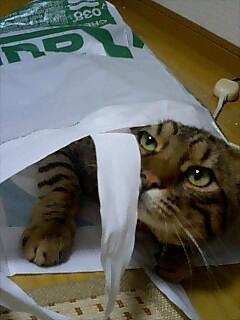 猫について ~ベンガル~