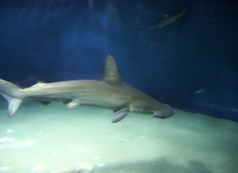 茅ヶ崎の海にサメが。。